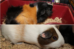 Tig And Dexter. Adorable Guinea Pig Buddies Adopted