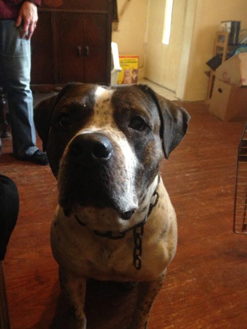 American Bulldog Cross named Cash