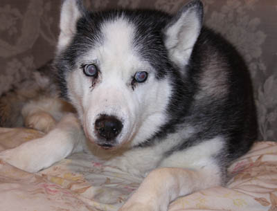 Halo. Senior Husky Has Been Adopted