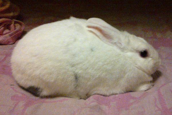 Juliet. A white rabbit for adoption
