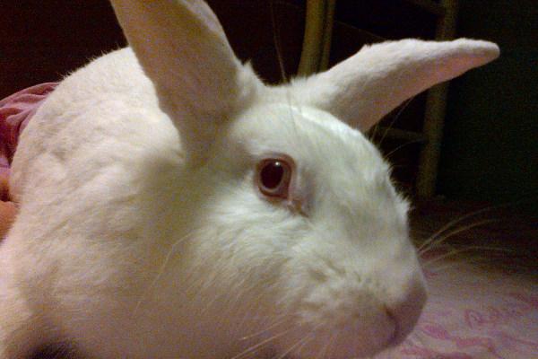 Romeo. White rabbit for adoption