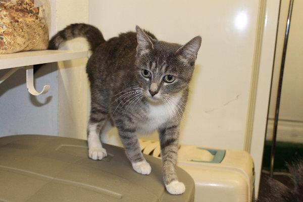 Smokey. A cat for adoption.