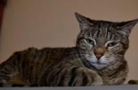 Cat named Bella for Adoption
