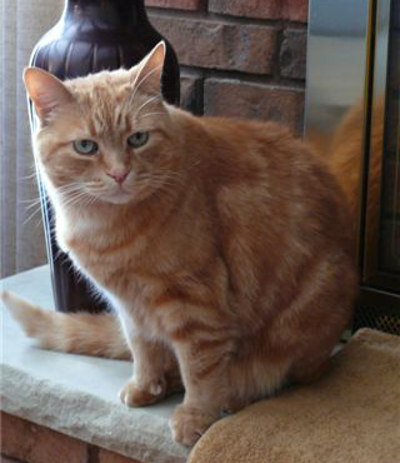 Boo. An adoptable orange cat