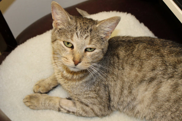 Adoptable cat named Chloe