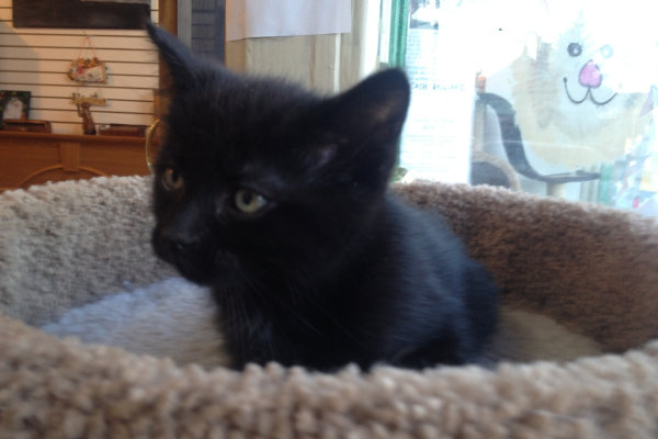 Kitten named Luigi for adoption