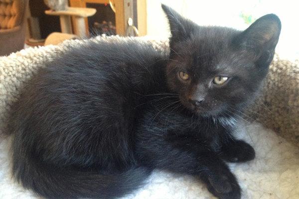 Kitten named Mario for Adoption