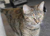Adoptable cat named Mea