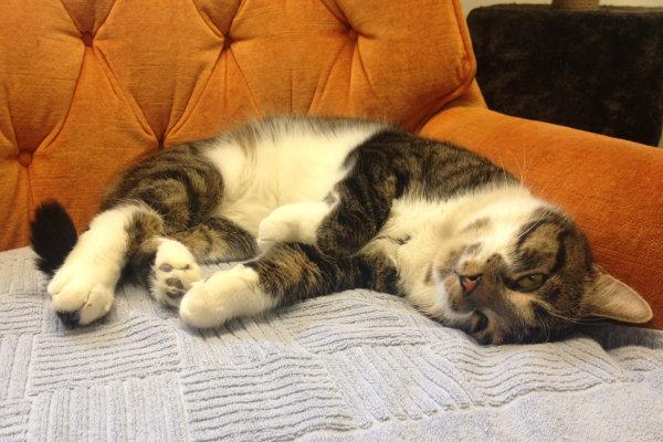 Adoptable Cat named Nino