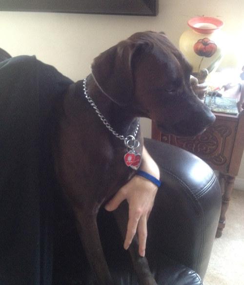 Dog named Jade for adoption.
