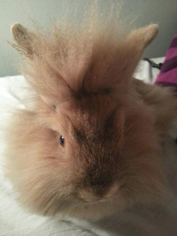 Leo. Lionhead Rabbit For Adoption