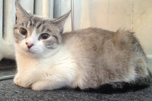 Adoptable Cat Named Sapphire