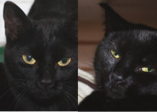 Mystery And Mystique. Black Beauty Rescue Kittens