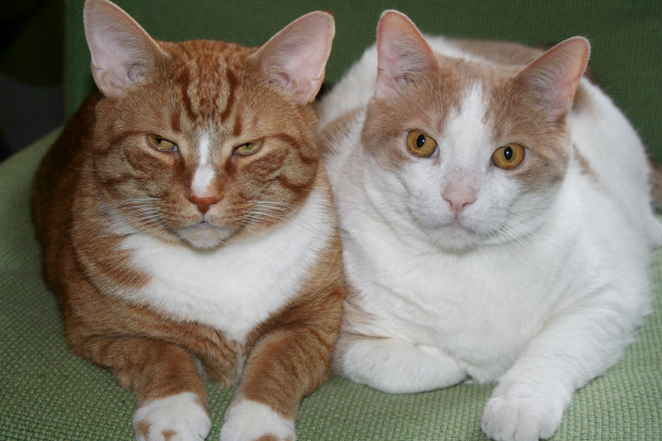 Adoptable cats Joey and Monty