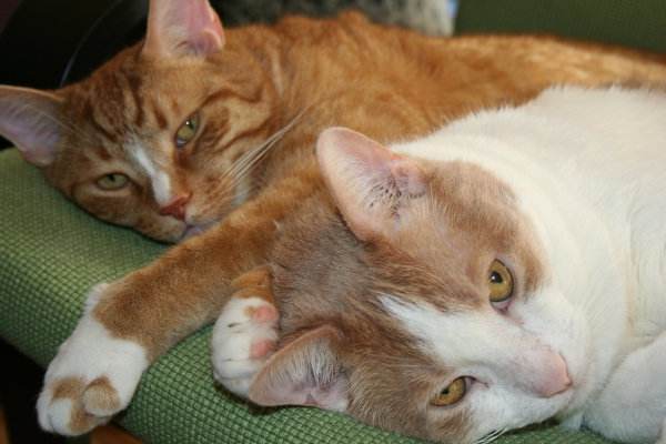 Joey and Monty - Cats for adoption