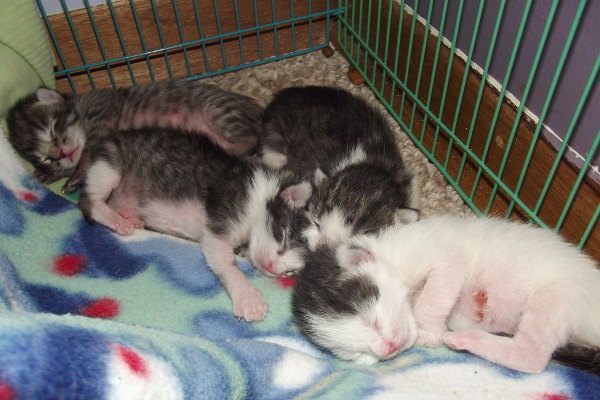 Four newborn rescue kittens for adoption.