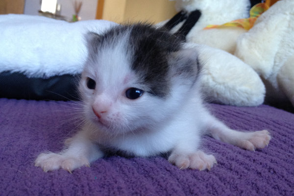 Kitten named Latte for adoption