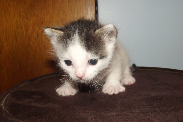 Latte. Kitten for adoption.