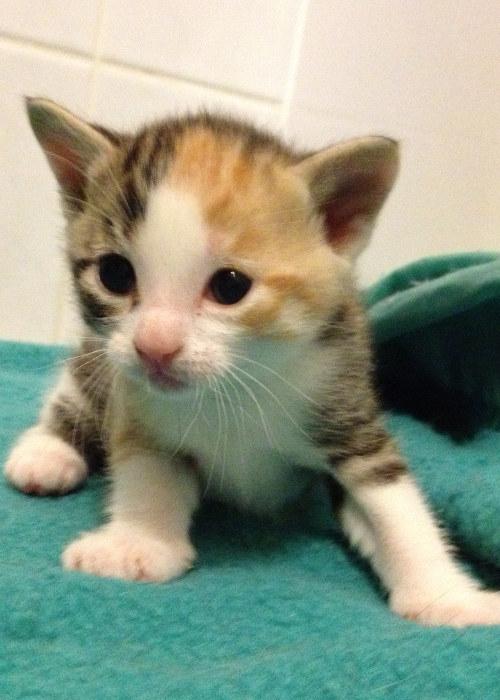 Female kitten for adoption named Matilde