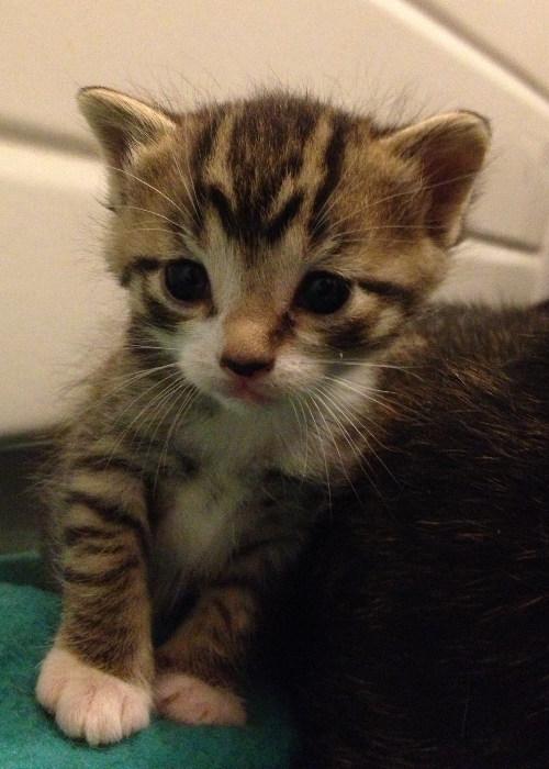 Female kitten for adoption