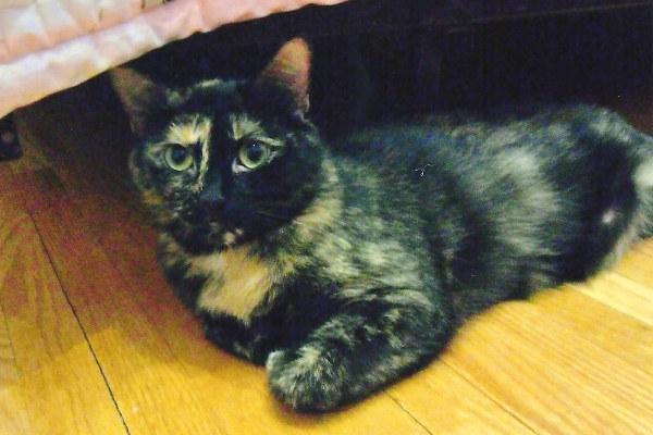 Mimi. An adoptable cat .