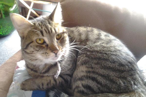 Kiara. A cat for adoption