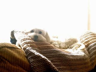 Adoptable dog named Maui