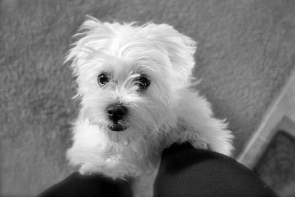 Maui. Adoptable Poodle/Maltese cross.