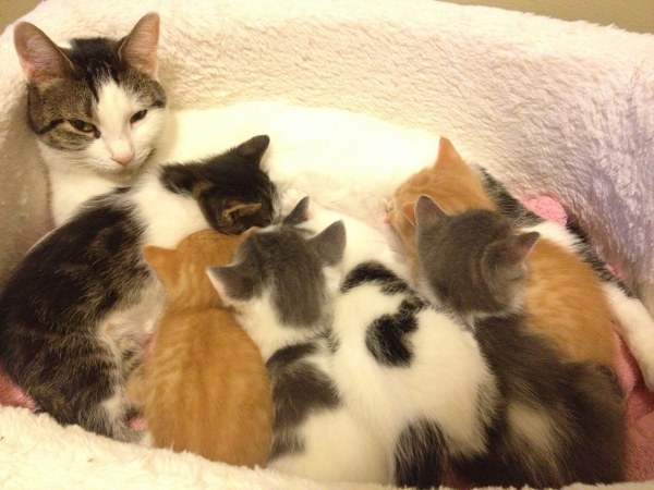 Mother cat Shiloh with six kittens feeding