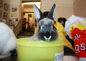 Rabbit named Bailey for Adoption