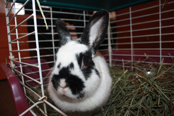 Rabbit Named Bella for AdoptioN