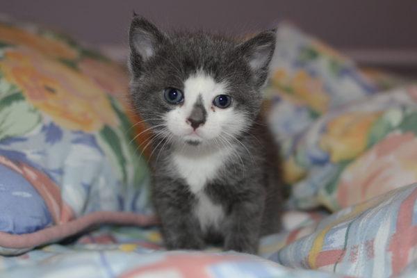 Kitten named Bonnie for Adoption