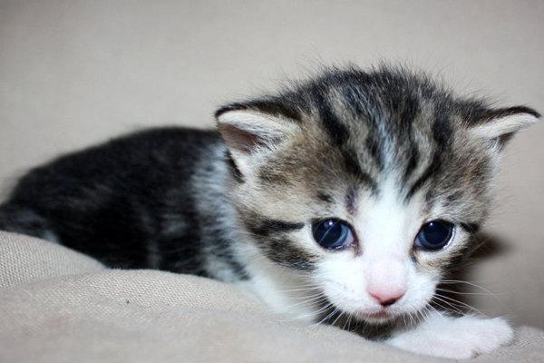 Female kitten for adoption - Brooke.