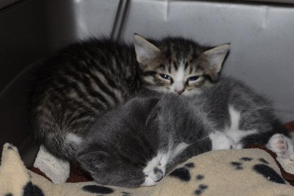 Kitten named Caroline for adoption