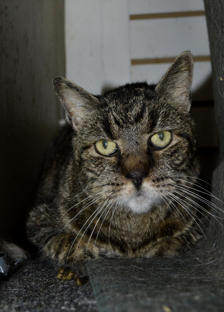 Chester, a cat for adoption at Oasis Animal Rescue, Oshawa, ON, Durham Region