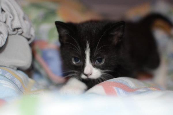 Kitten named Elana for adoption.
