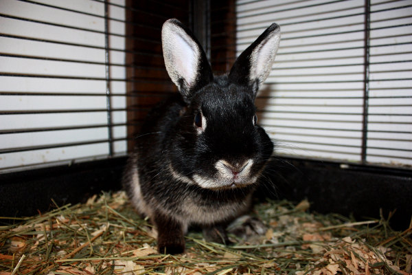 Rabbit Named Caden for Adoption