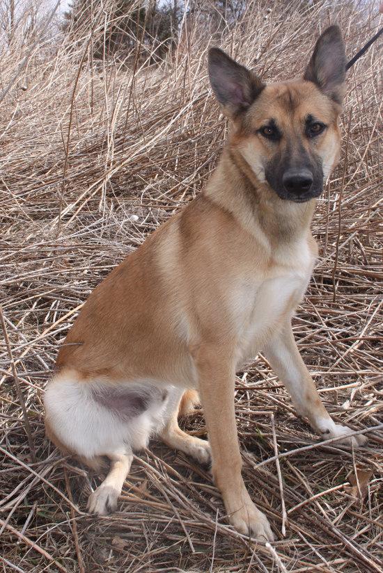 Adoptable dog named Lincoln