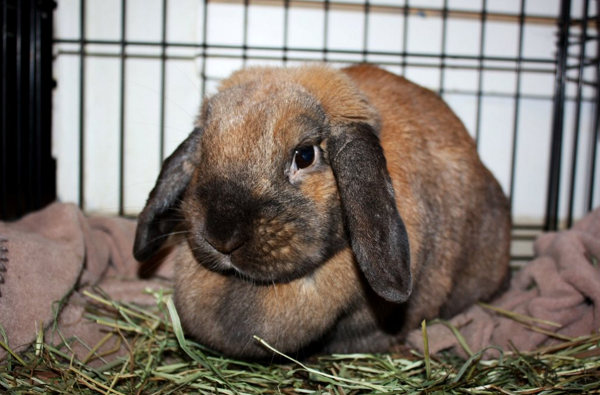 Rabbit Named Lola for Adoption