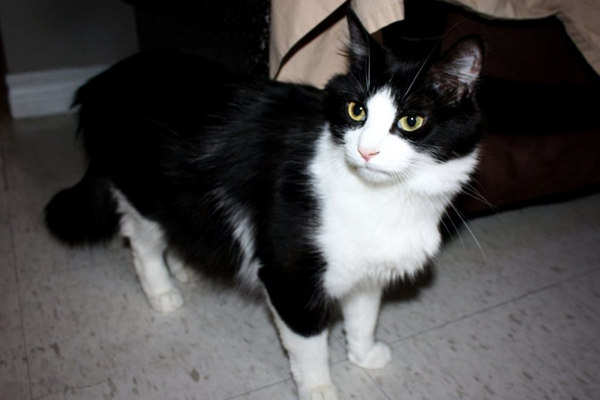Cat named Desiree, mother to four kittens and adopted by her foster mom