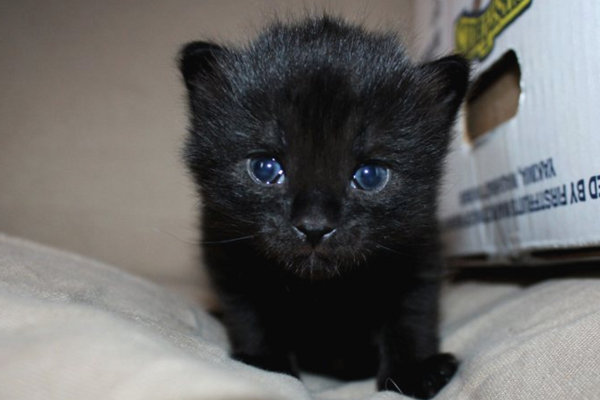 All black, male kitten named Noah, for adoption