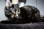 Paige. Affectionate And Talkative Cat For Adoption
