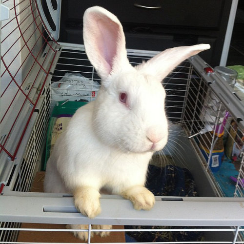 Rabbit Named Romeo for Adoption