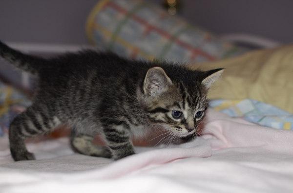 Kitten named Stefan for adoption.