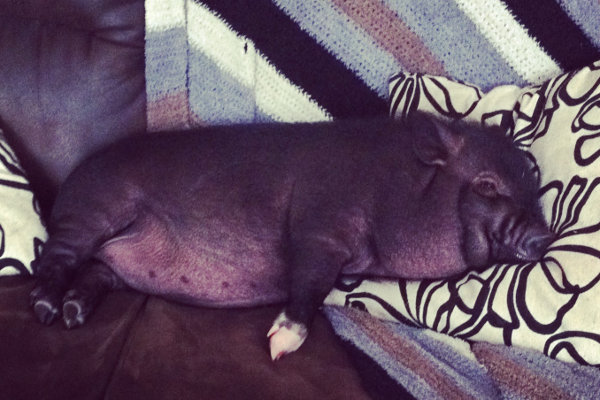 Pot bellied pig for adoption named Cupcake