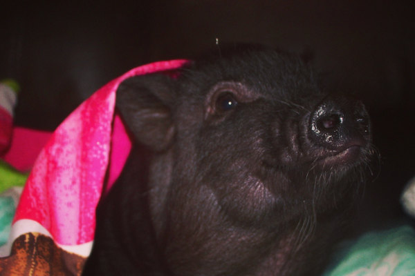 Pot bellied pig for adoption named Cupcake. Oasis Animal Rescue.