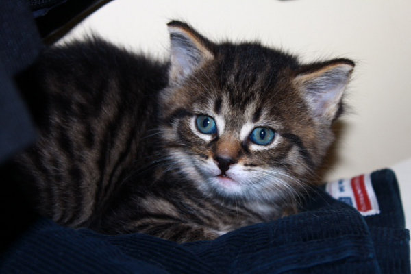 Kitten named Logan - 5 weeks of age