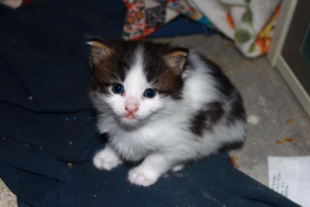kitten named Rory for adoption