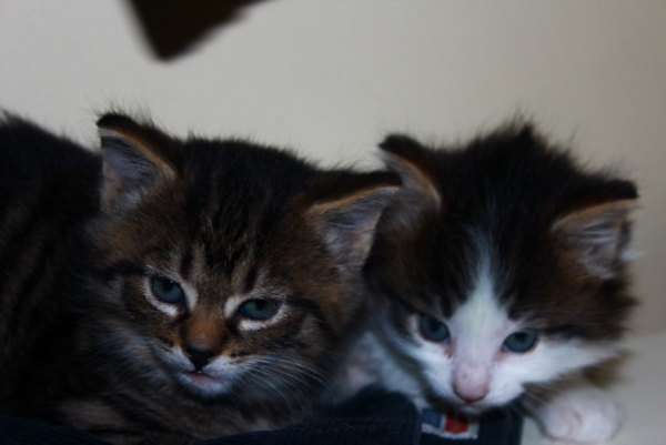 Kittens for adoption, Rory and Logan at five weeks of age