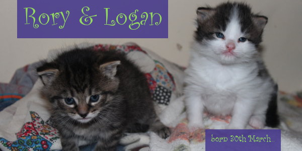 Kittens Rory and Logan for adoption